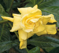 Golden Magic Gardenia
