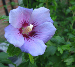 Blue Bird Hibiscus ( Althea ) - Rose Of Sharon