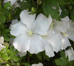 Diana Hibiscus ( Althea ) - Rose Of Sharon