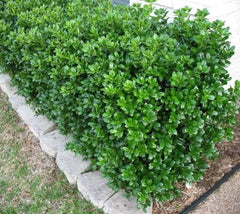 Dwarf Burford Holly ( ilex cornuta )