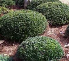 dwarf yaupon ilex vomitoria schillings dwarf holly plants