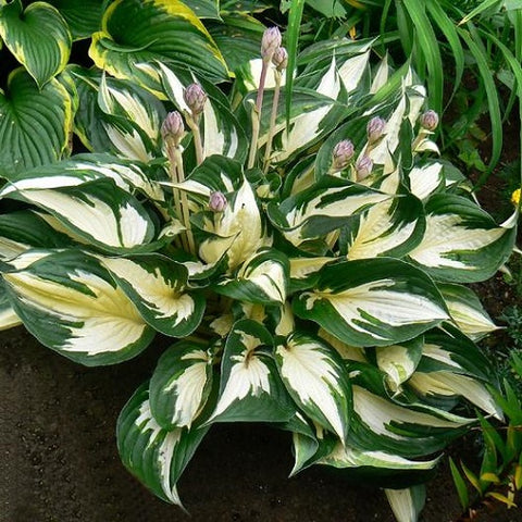 Fire and Ice Variegated Hosta ( medium size )