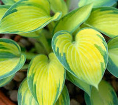 June Variegated Hosta hosta june