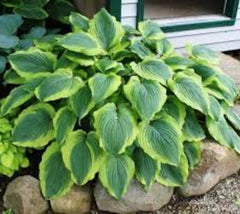 Satisfaction Variegated Hosta hosta satisfaction