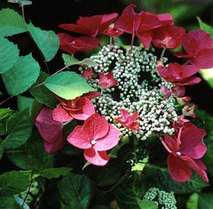 Lady In Red Hydrangea Hydrangea macrophylla 'Lady In Red'