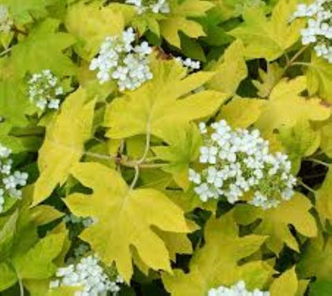 Little Honey Dwarf Oakleaf Hydrangea