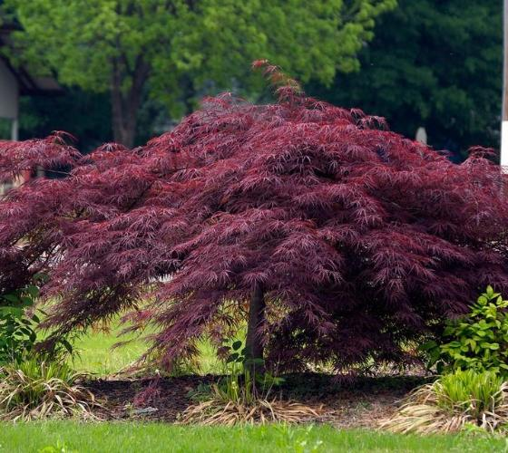 Crimson Queen Japanese Maple New Life Nursery Local
