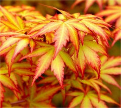 Orange Dream Japanese Maple