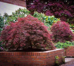 Red Dragon laceleaf weeping japanese maple