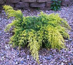 gold lace juniper ( Juniperus chinensis Gold Lace ) plants