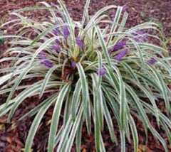 Silver Dragon Variegated Liriope ( aka lily turf, aka monkey grass )