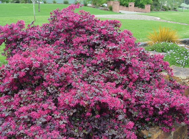 Plum Delight Loropetalum Chinese Fringe New Life Nursery Local