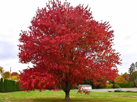 Red Maple ( Acer Rubrum )