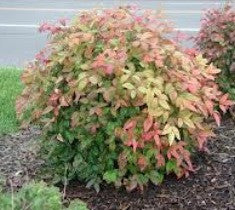 nandina domestica firepower plants