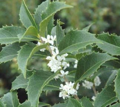 Fortune's Fragrant Tea Olive Osmanthus x fortunei