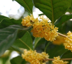 yellow flowering fragrant tea olive ( osmanthus fragrans thunbergii )