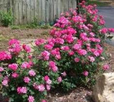 Pink Double Knock Out Rose ( Rosa 'Radtkopink' )