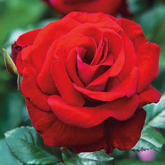 Drop Dead Red™ Floribunda Rose