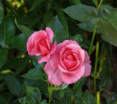 Easy Elegance® Grandmas Blessing Rose