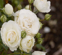 Easy Elegance® Snowdrift White Rose