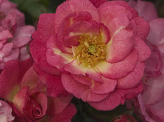 Easy Elegance® Sunrise Sunset Rose