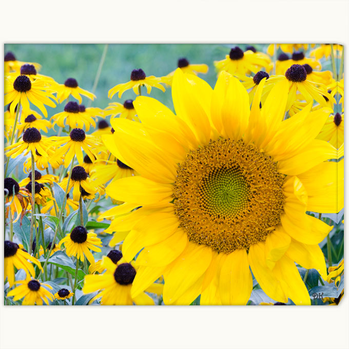 06c-259 Sunflower Bold-cwx