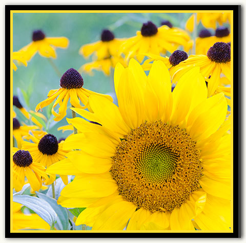 01a-259 Sunflower Bold_08-Gold