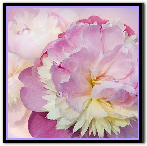 03d-305 Peony Cluster_12-LavLit
