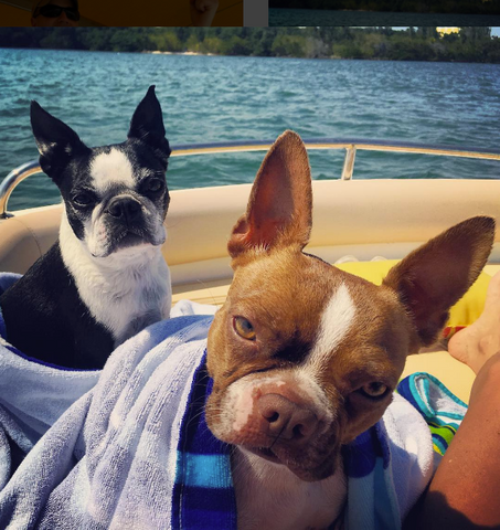 two boston terrier dogs wrapped in beach towels on a boat