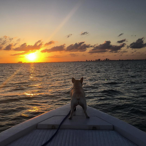 french bulldog riding on bow of boat at sunset