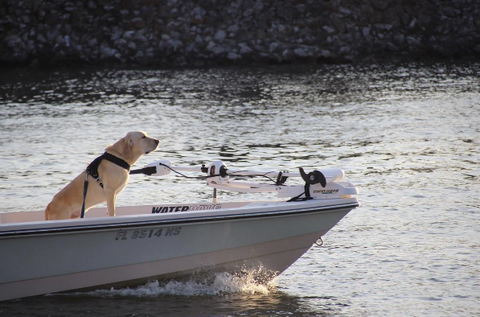 white labrador steering fishing boat