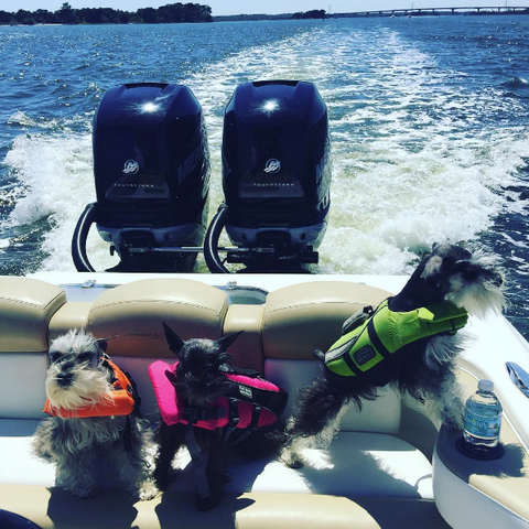 three terriers wearing life jackets in a boat