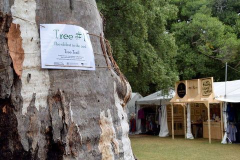 Oldest tree in Botanic Park, WOMADelaide 2017
