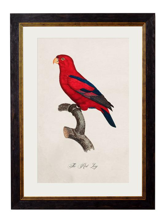 Framed Print - Red Lory