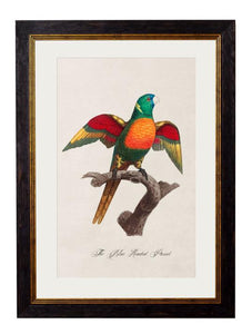 Framed Print - Blue Headed Parrot