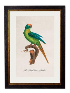Framed Print - Peach Fronted Parakeet