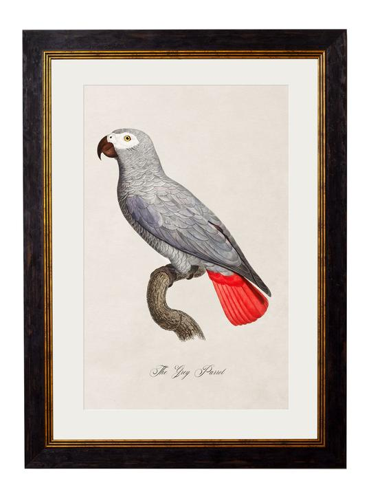 Framed Print - Grey Parrot