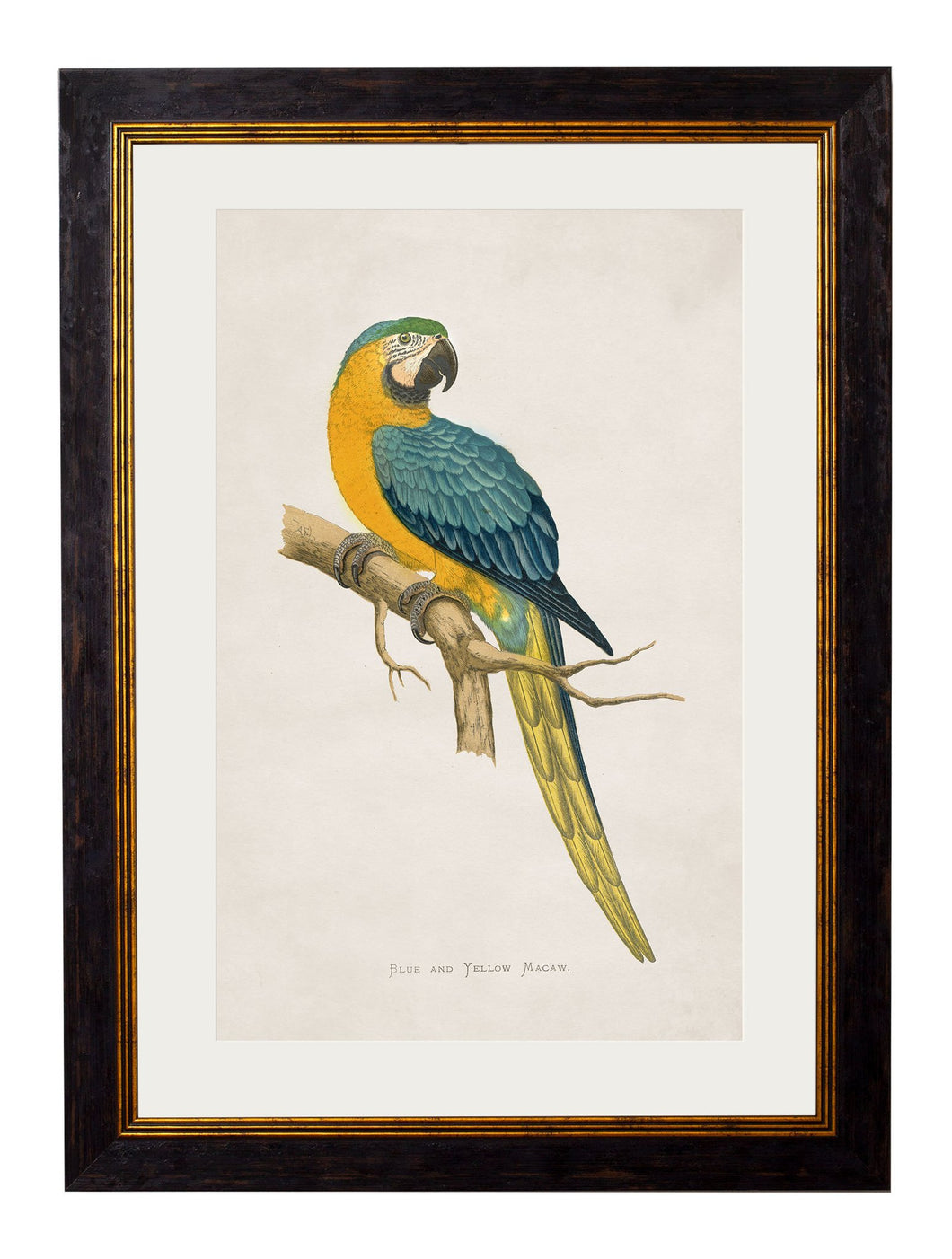 Framed Print - Blue and Yellow Macaw
