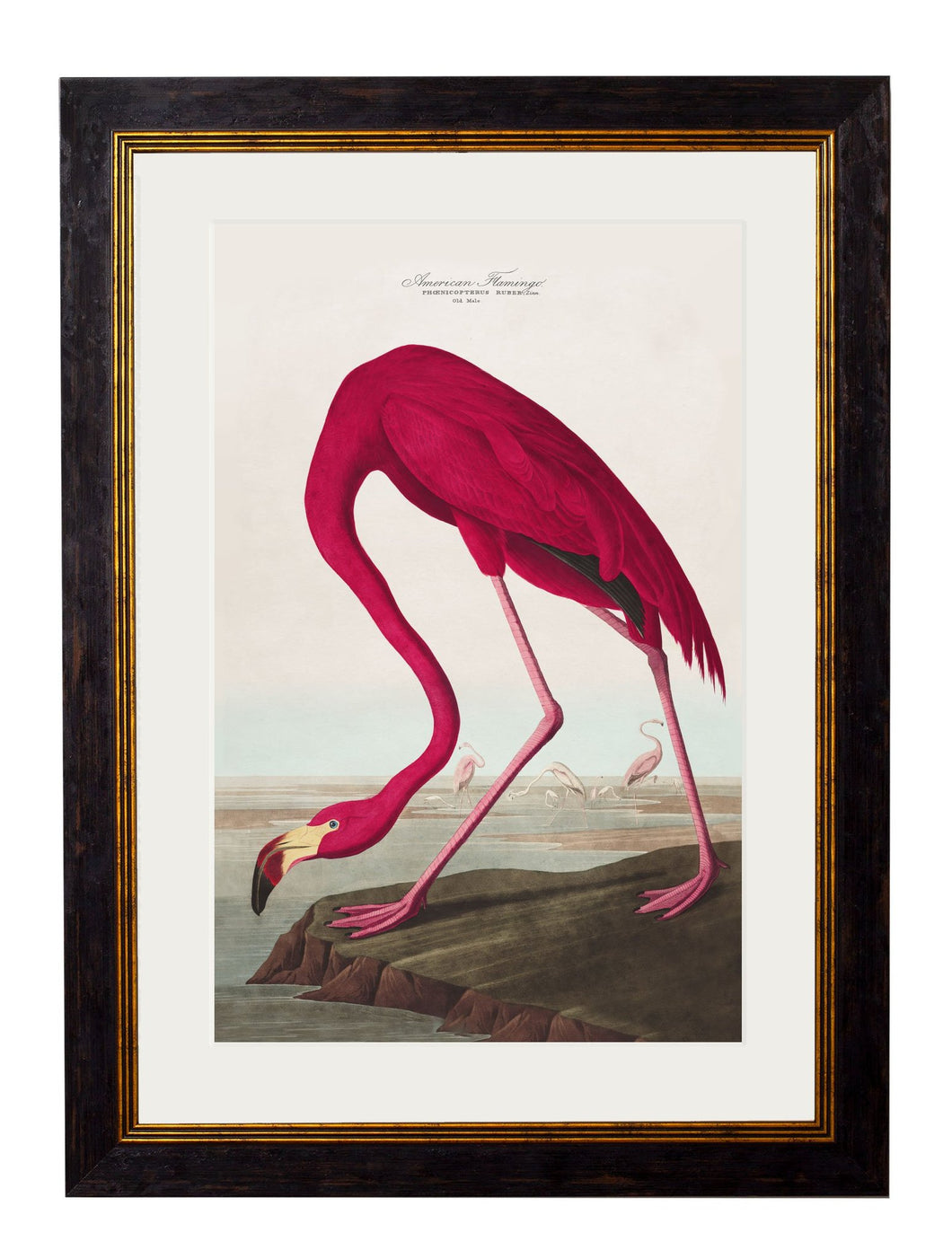 Framed Print - American Flamingo