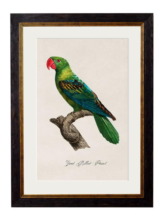 Framed Print - Great Billed Parrot