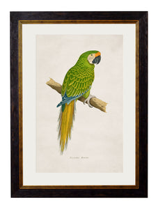 Framed Print - Military Macaw