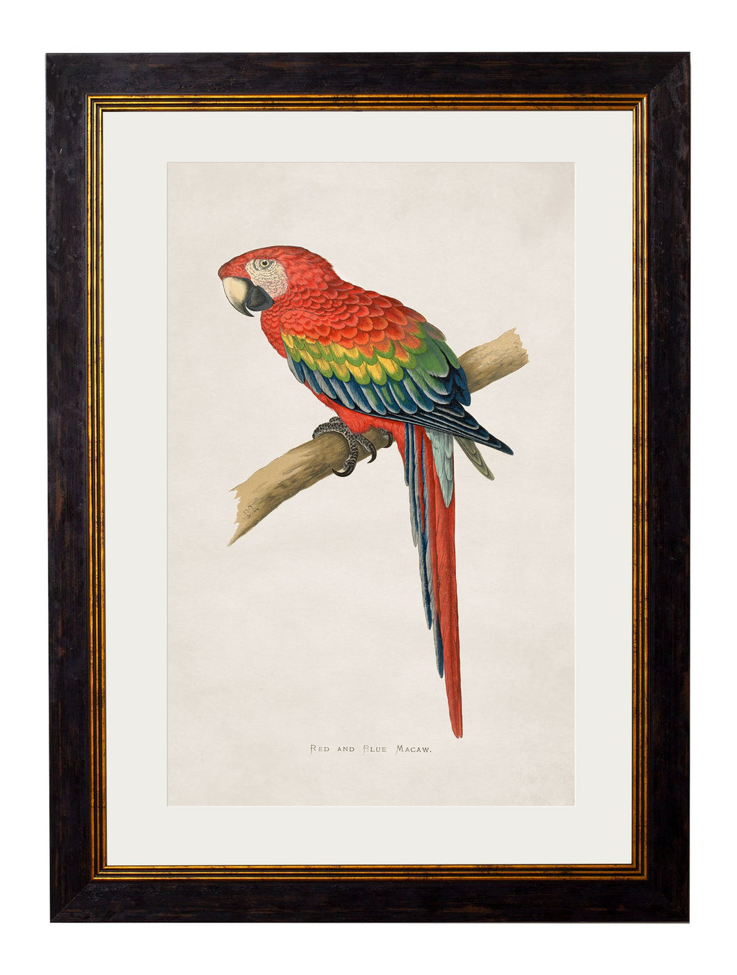 Framed Print - Red and Blue Macaw