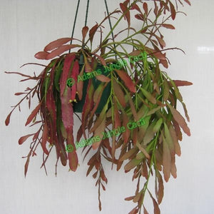 Pseudorhipsalis Ramulosa Red Dragon - R21