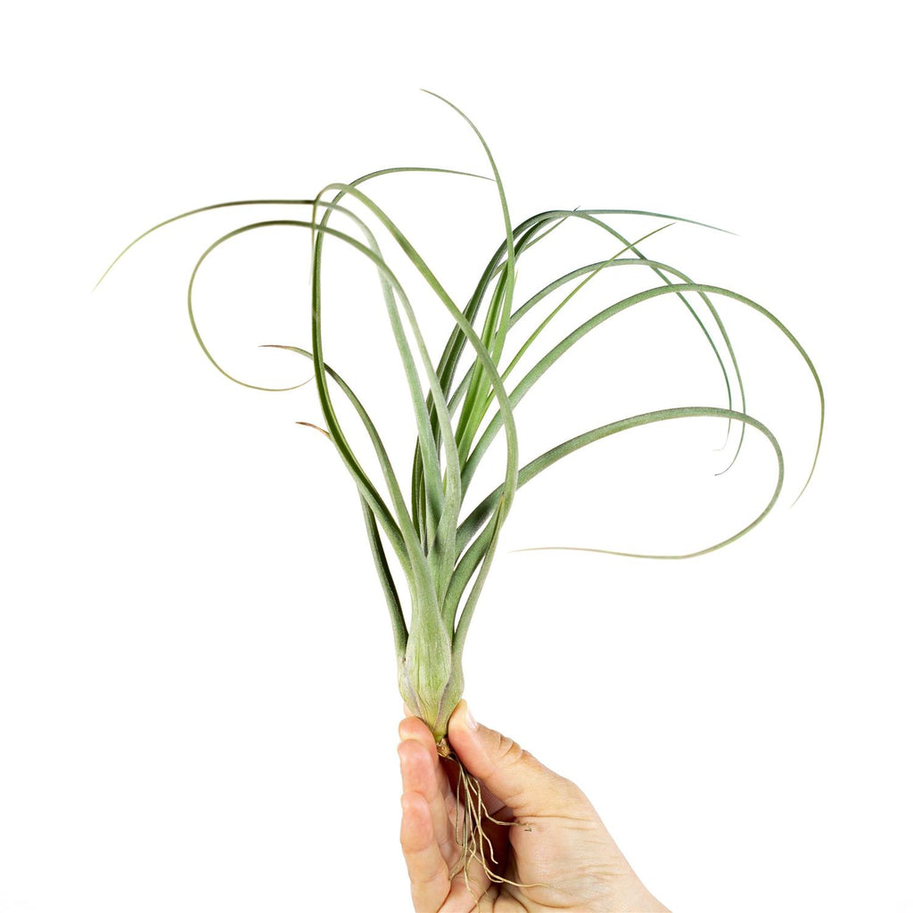 Tillandsia - Baileyi (Wholesale)