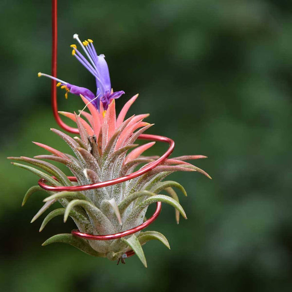 Accessories - Air Plant Hanger