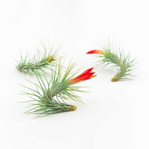 Air Plants - Funckiana
