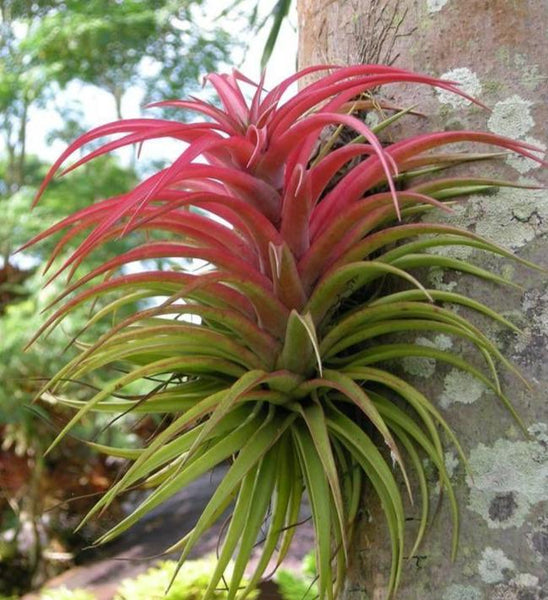 Tillandsia - Brachycaulos (Wholesale)