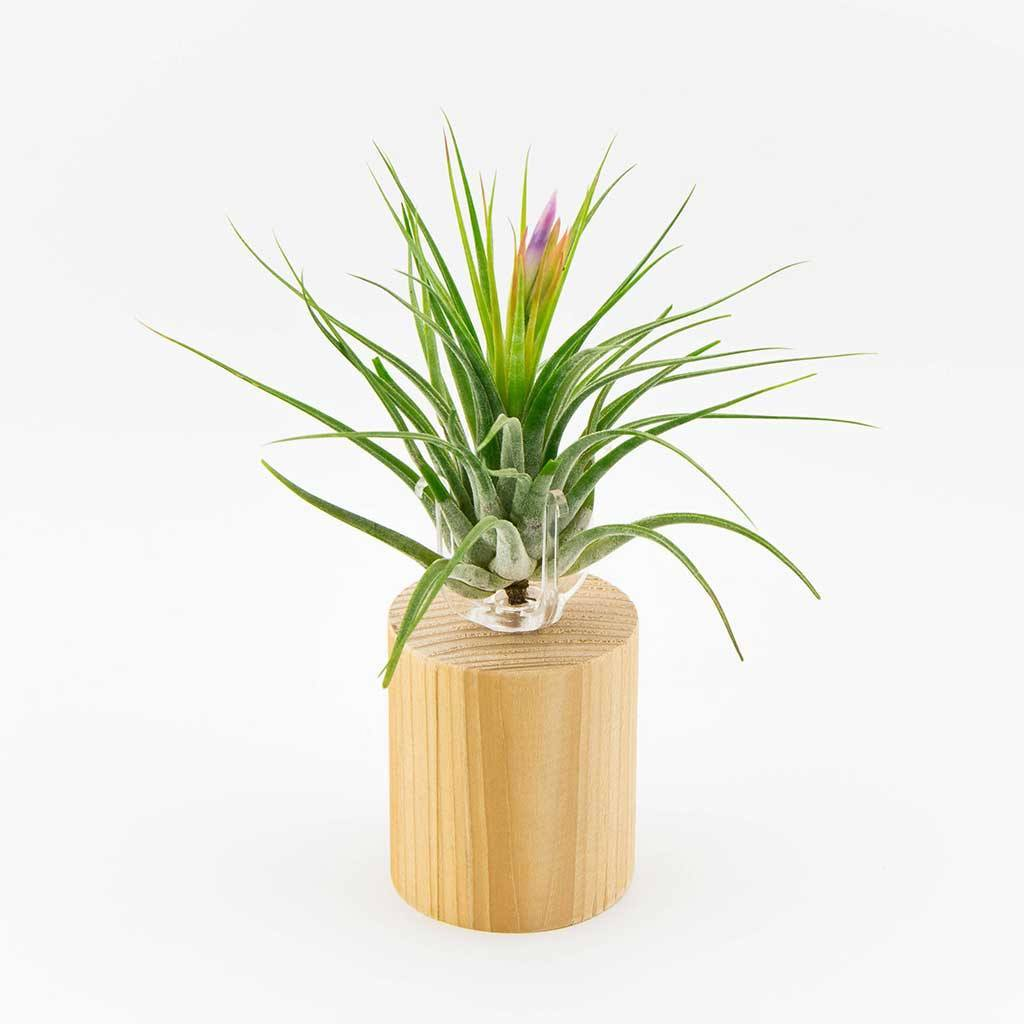 Wooden air plant holder air plant decor - Elegant ways to display air plants in your home ...