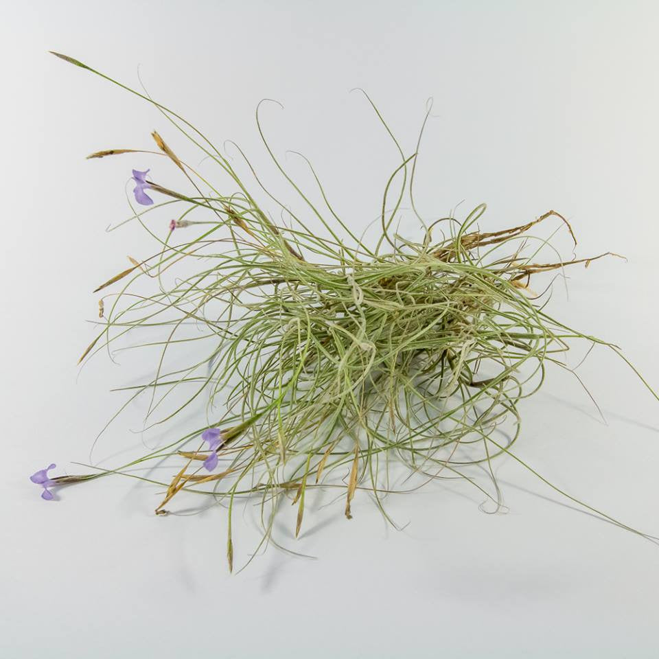 Tillandsia - Mallemontii (Wholesale)