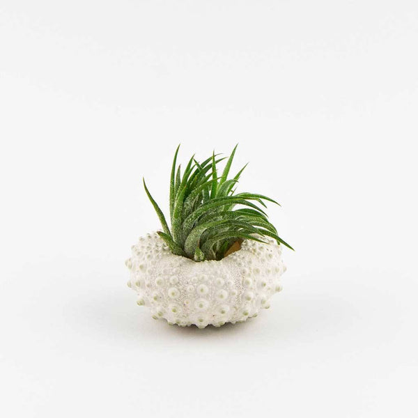 Gifts - Knobby Urchin Planter